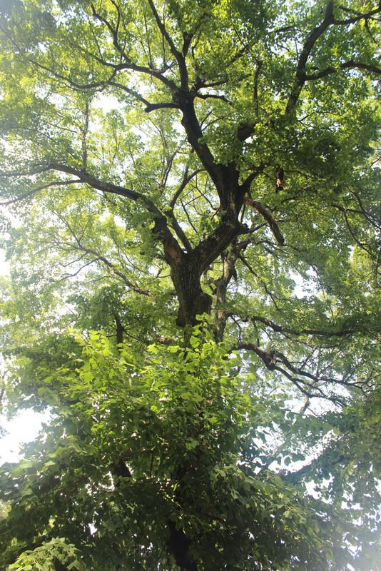 Öreg hársfa