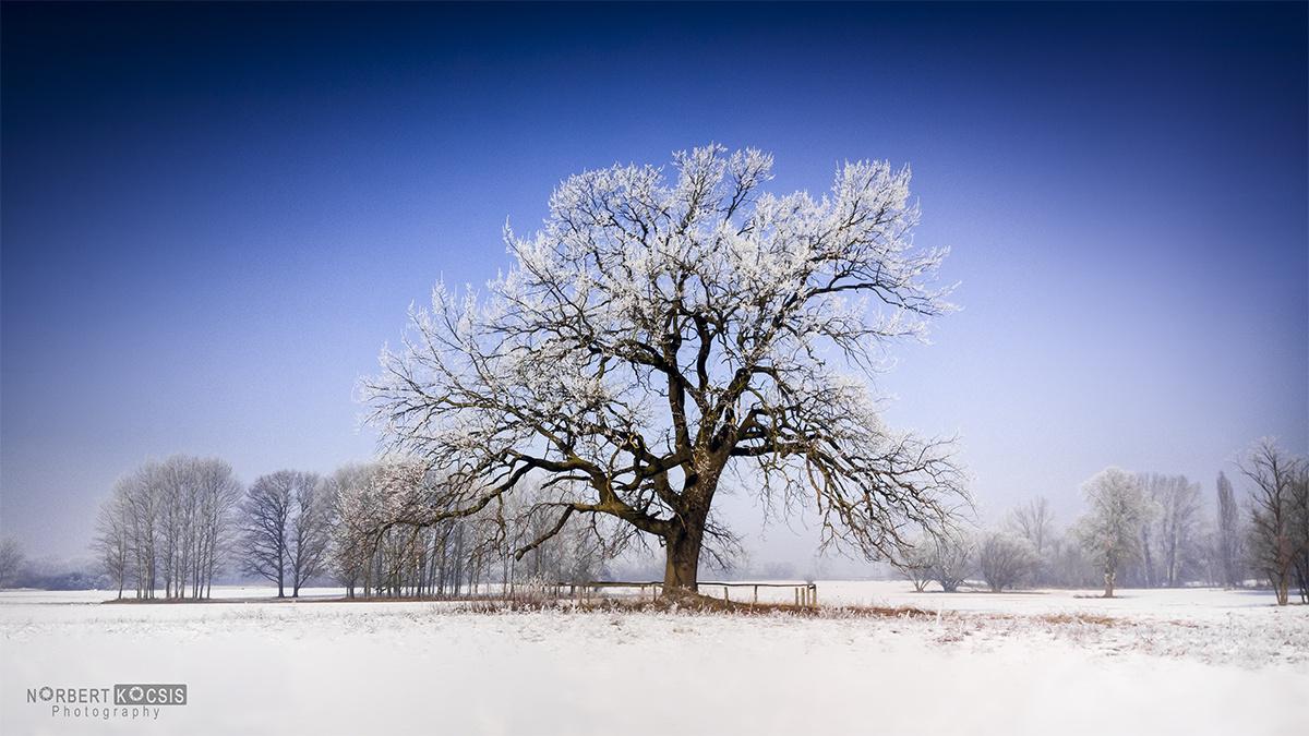 Hófödte deresen a 150 éves tölgy