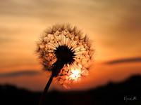 Napkelte Gyermekláncfű vagy pitypang (Taraxacum officinale)