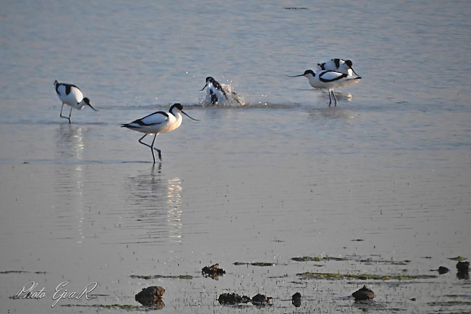 Gulipánok (Recurvirostra avosetta)