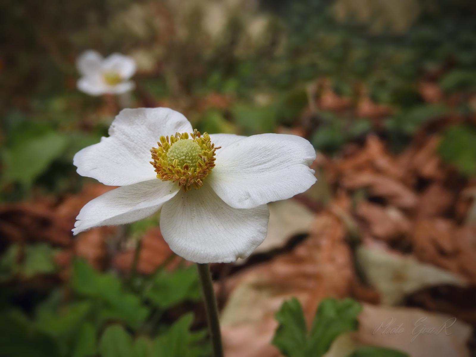 Ősz Virág A szellőrózsa (Anemone)