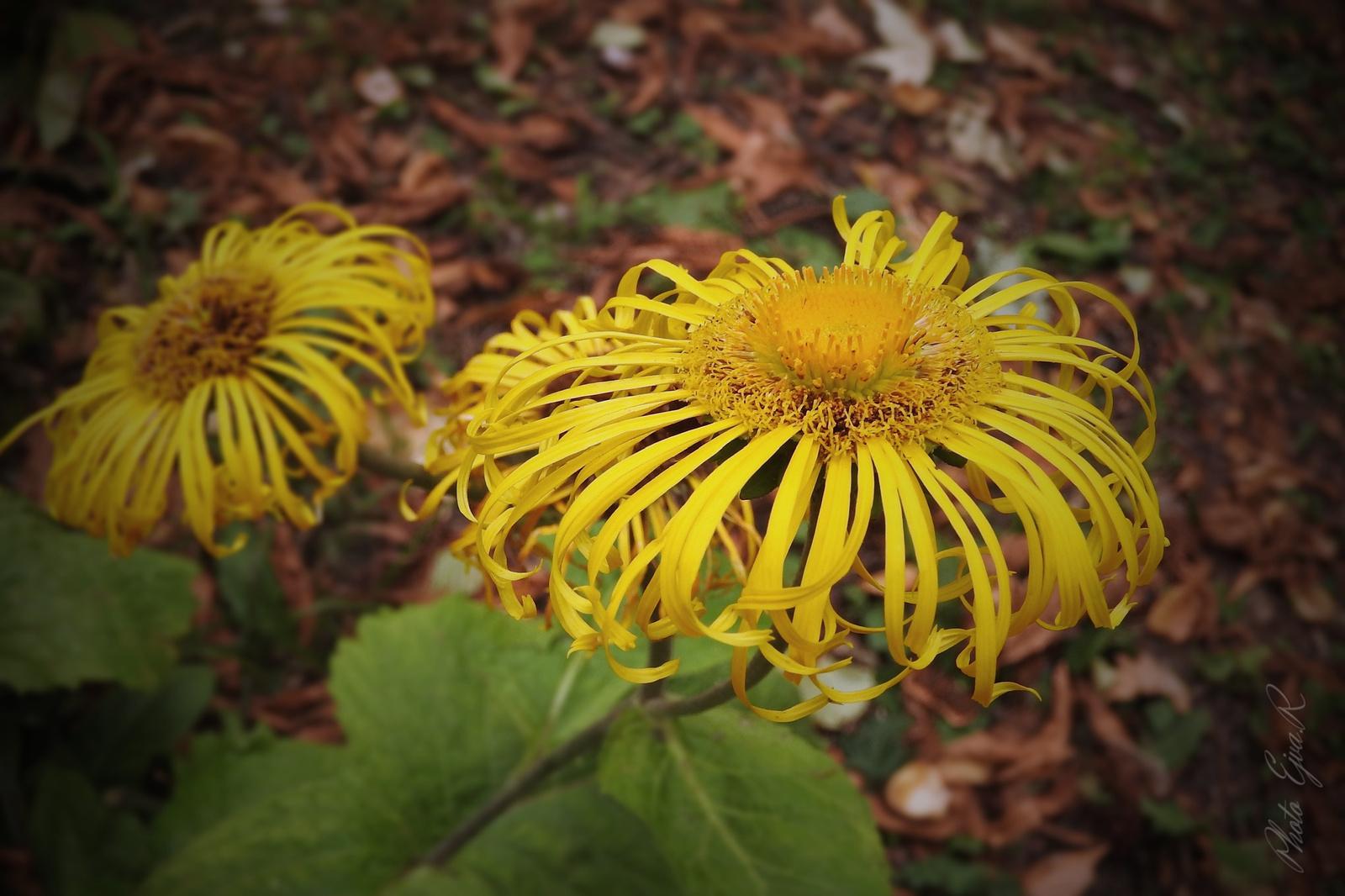 Ősz Virág