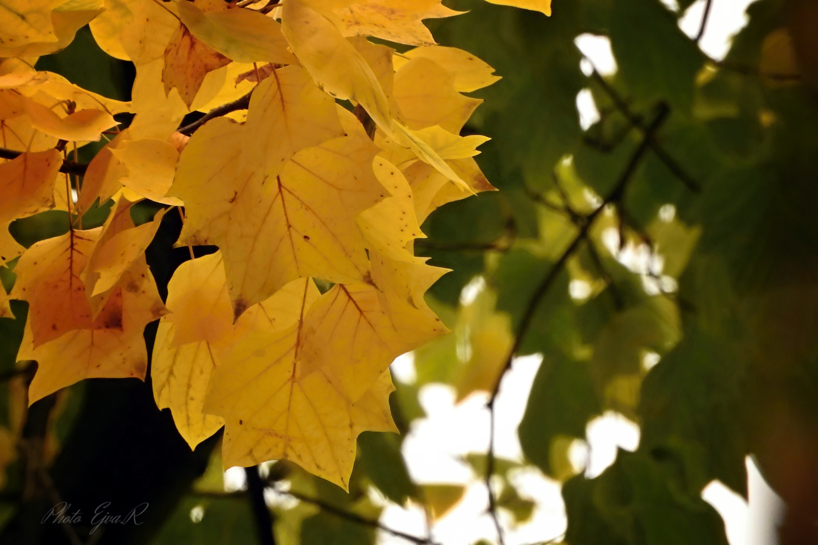 Ősz Levelek