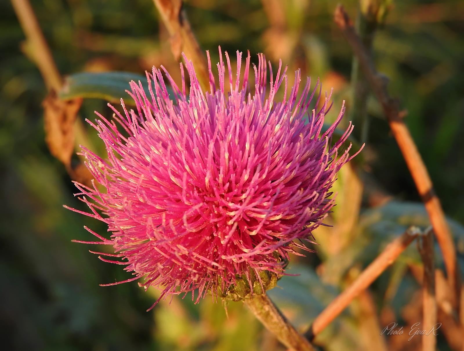 Bogáncs virág