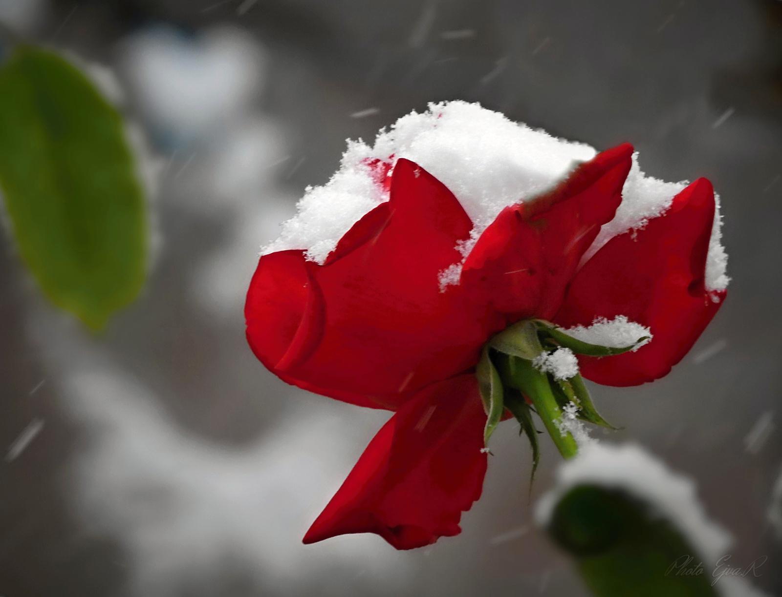 Havazás Rózsa Ősz
