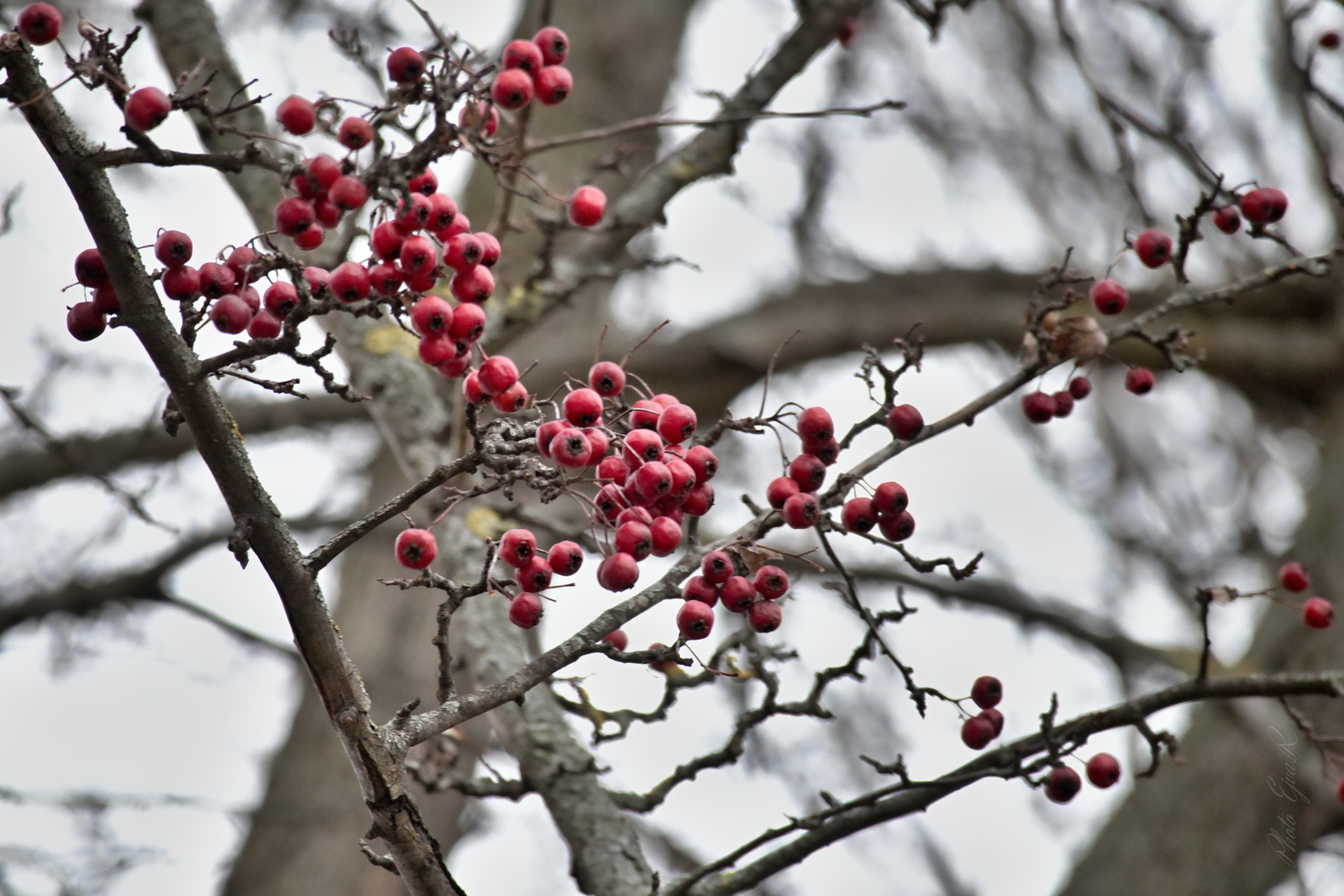 Sopron Piros bogyó Tél