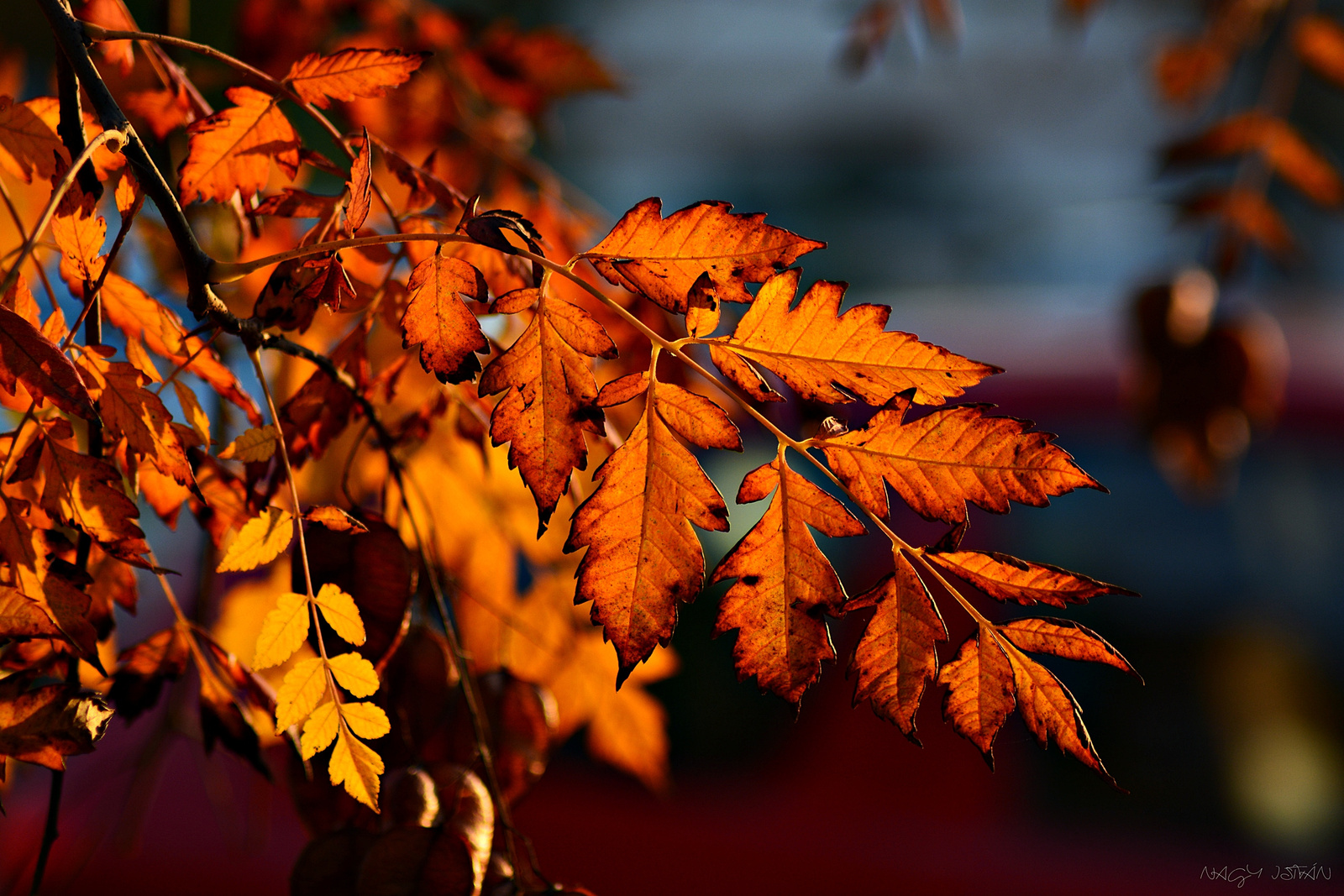 Autumn Leaves 0021