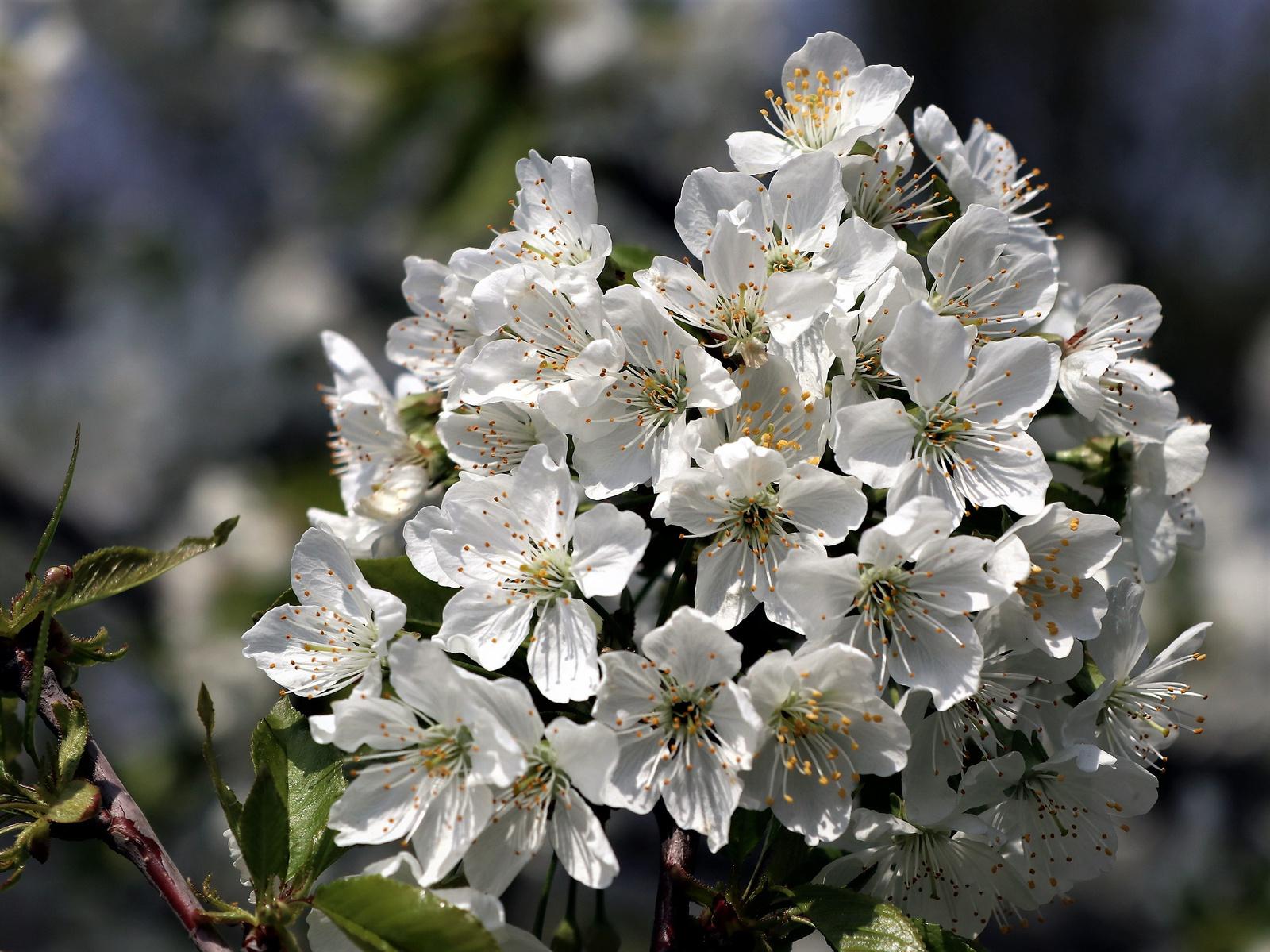 Cseresznyevirágom