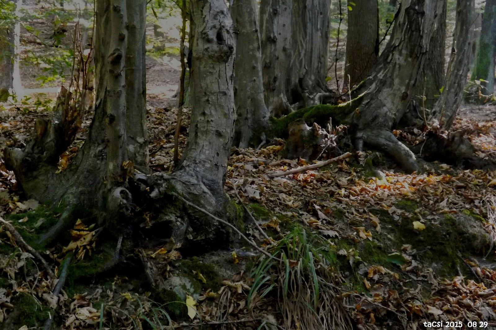 Gyertyánfa