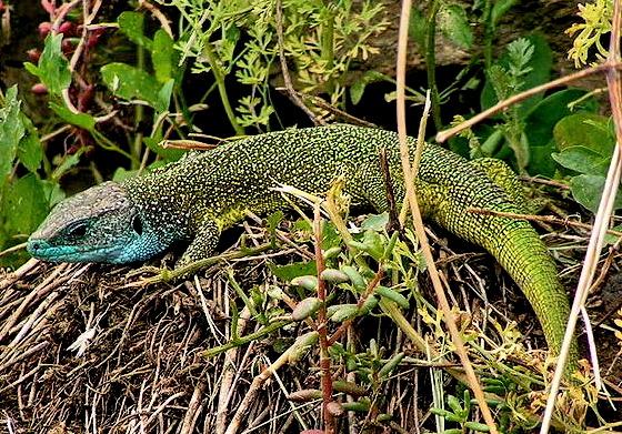 Zöld Gyík - 002v Lacerta viridis