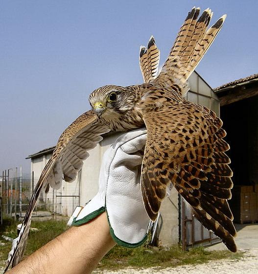 Vörös Vércse - 001v Falco tinnunculus
