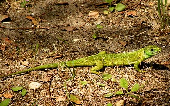 Zöld Gyík - 001v Lacerta viridis
