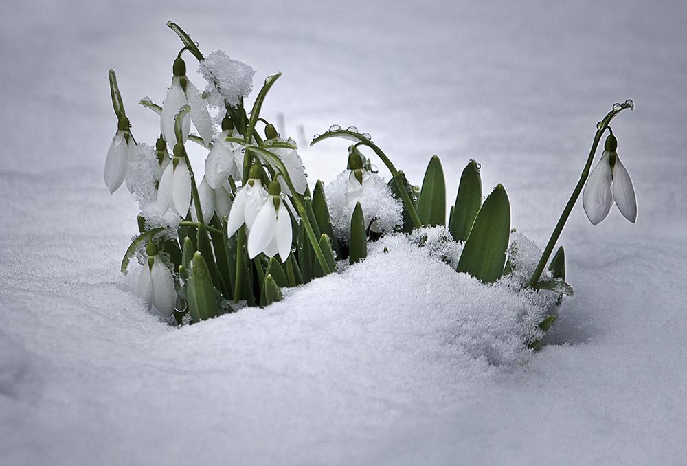 hó + virág = HÓVIRÁG