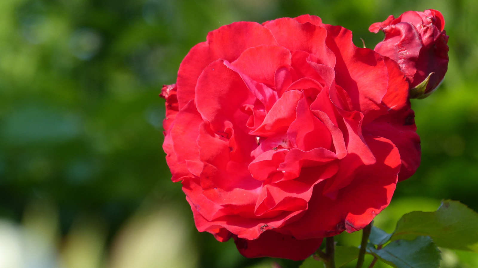 Otthoni rózsák, SzG3
