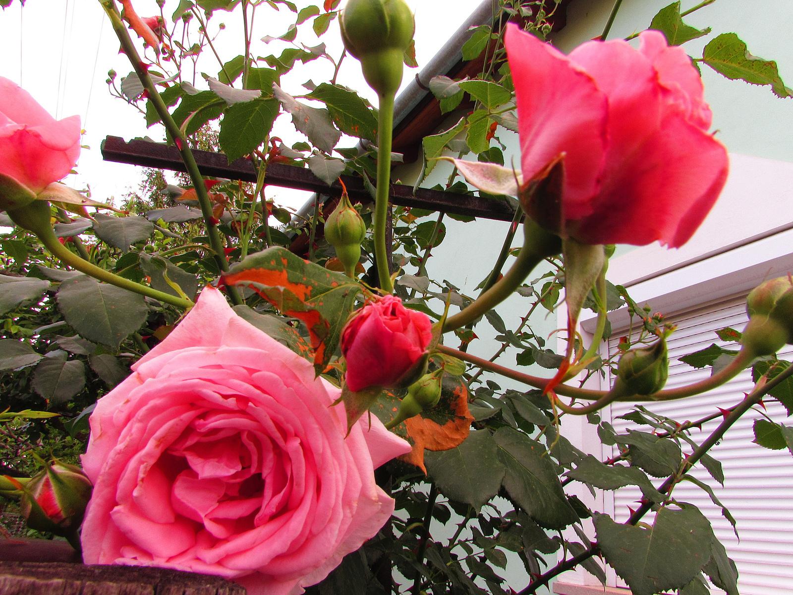 rózsaszin
