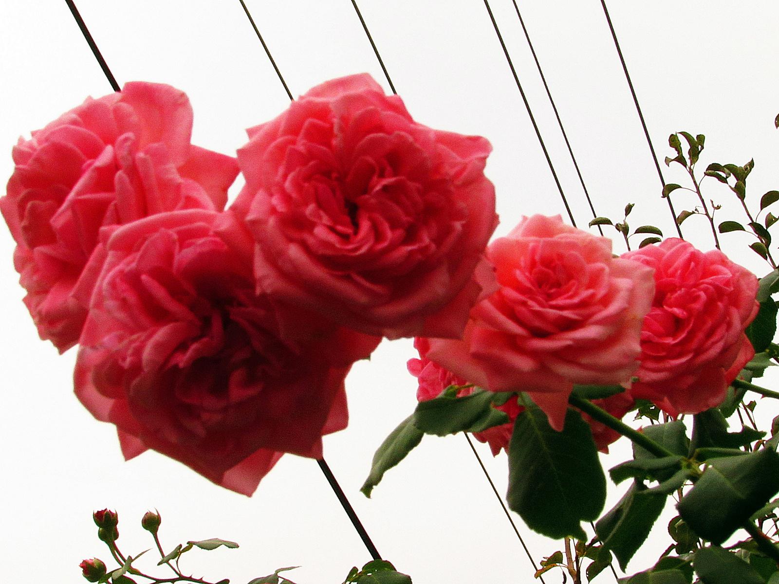 kotta rózsák