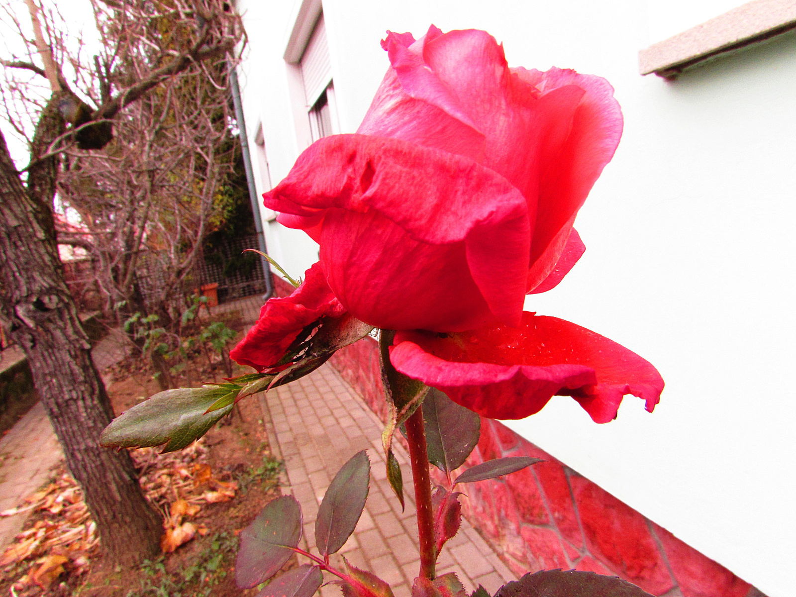 januári rózsám
