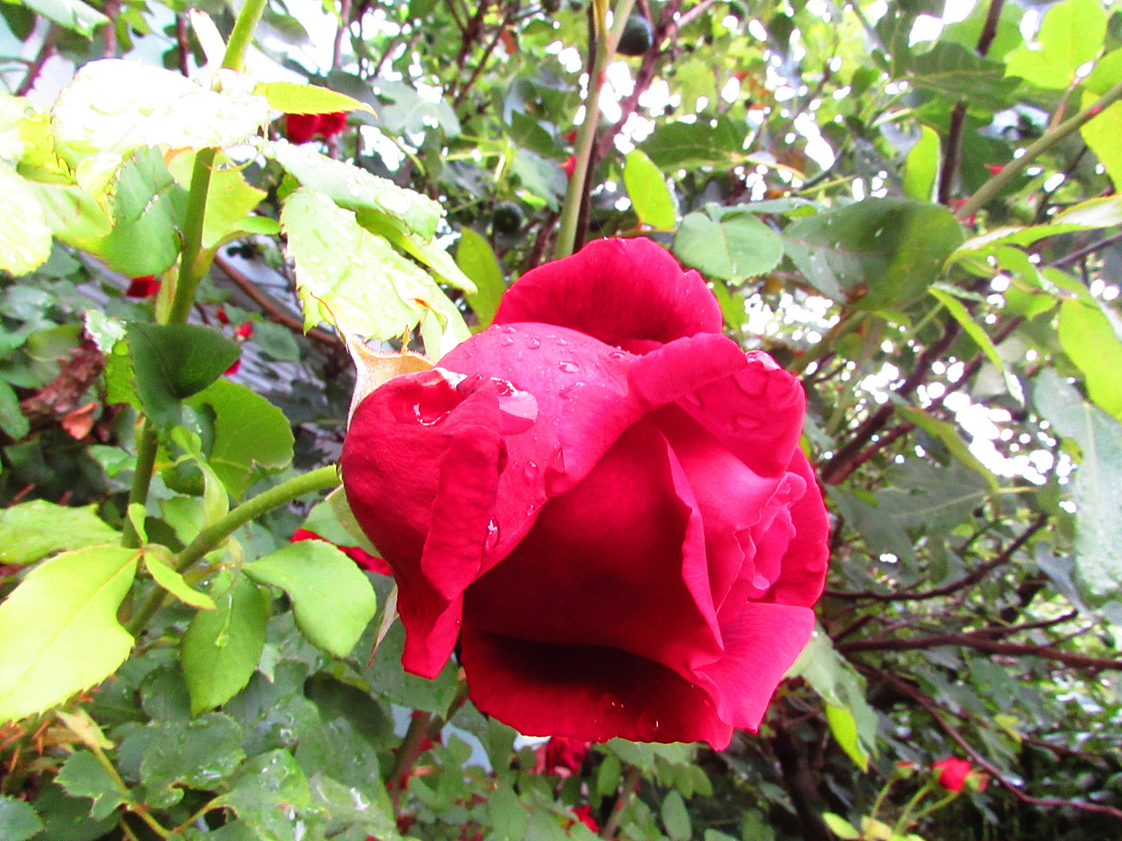 cseppes rózsa
