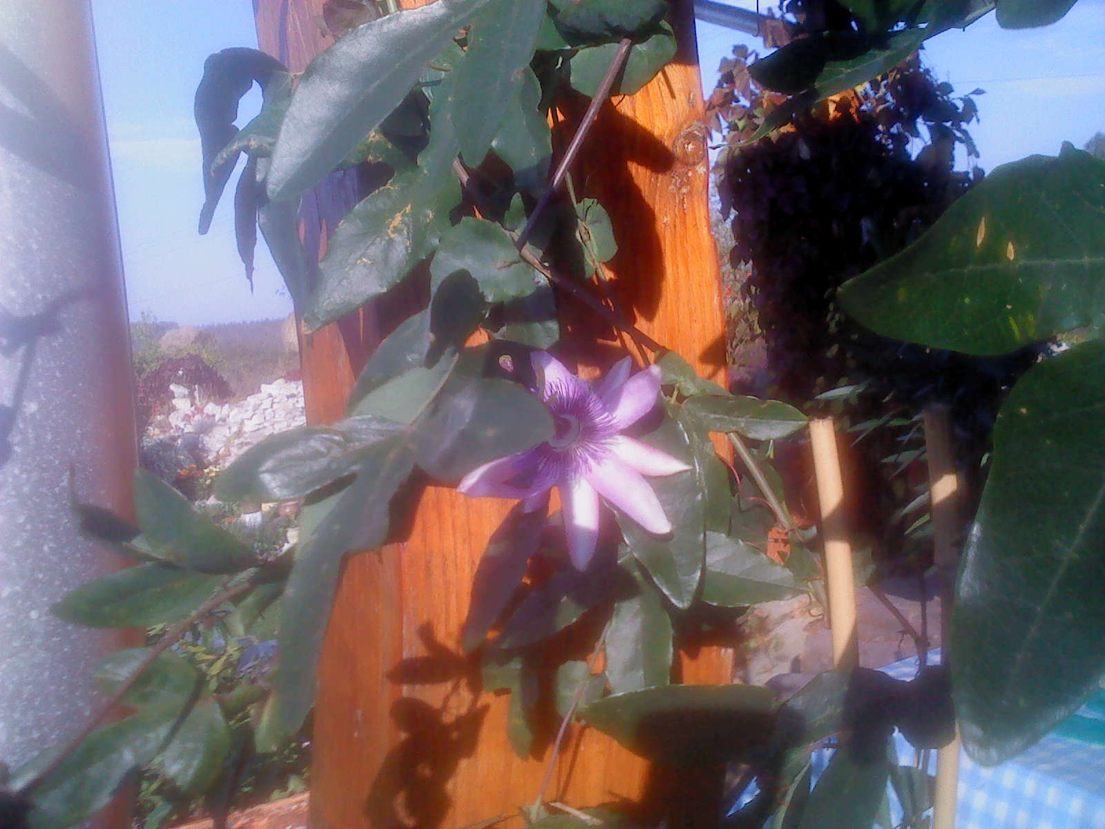 lila golgota1
