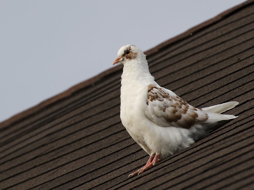 házi galamb