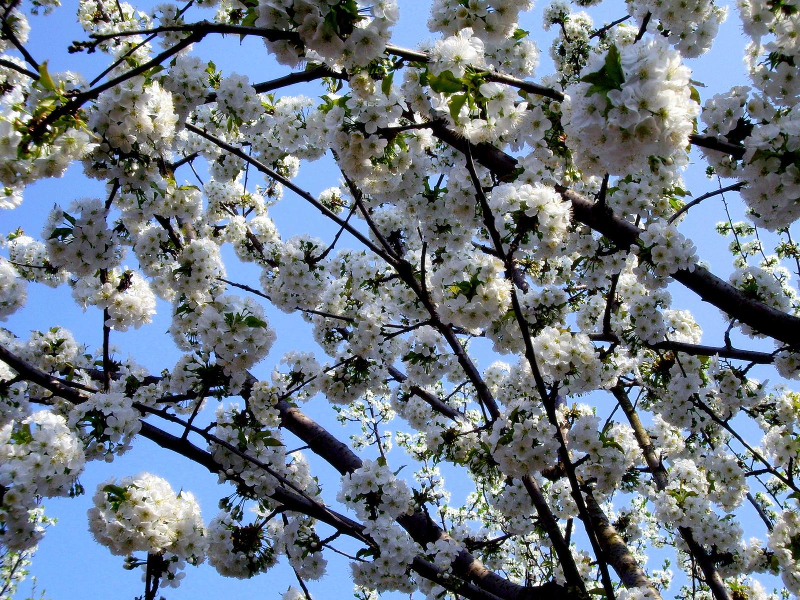 Cseresznyefa-virágzás
