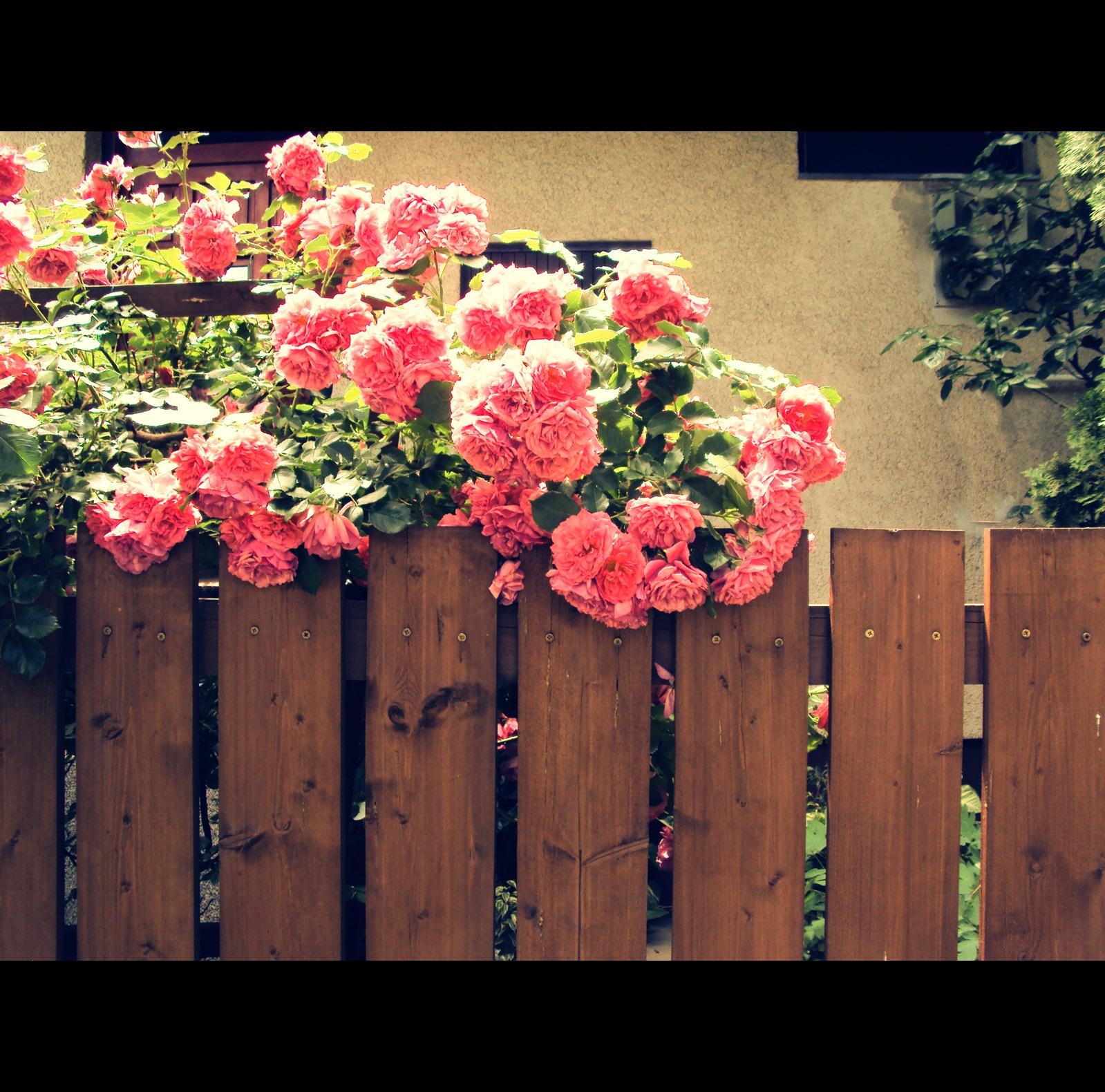 Rózsák....