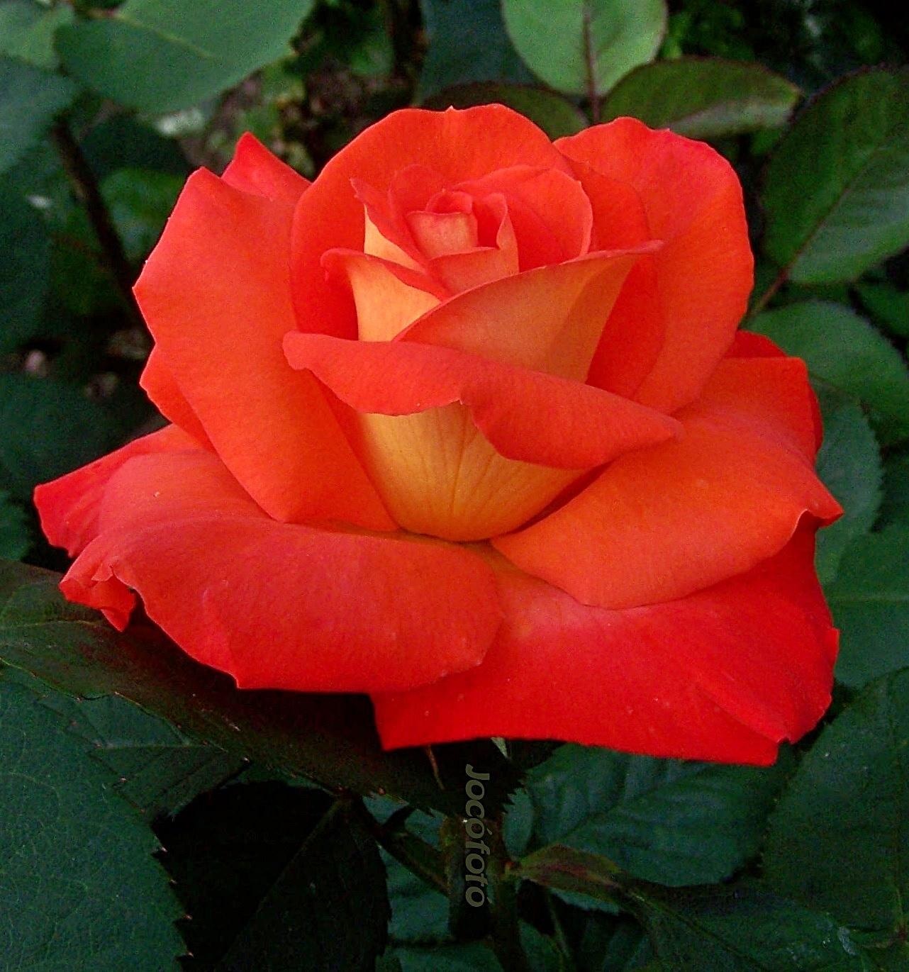 Rózsáim 7479
