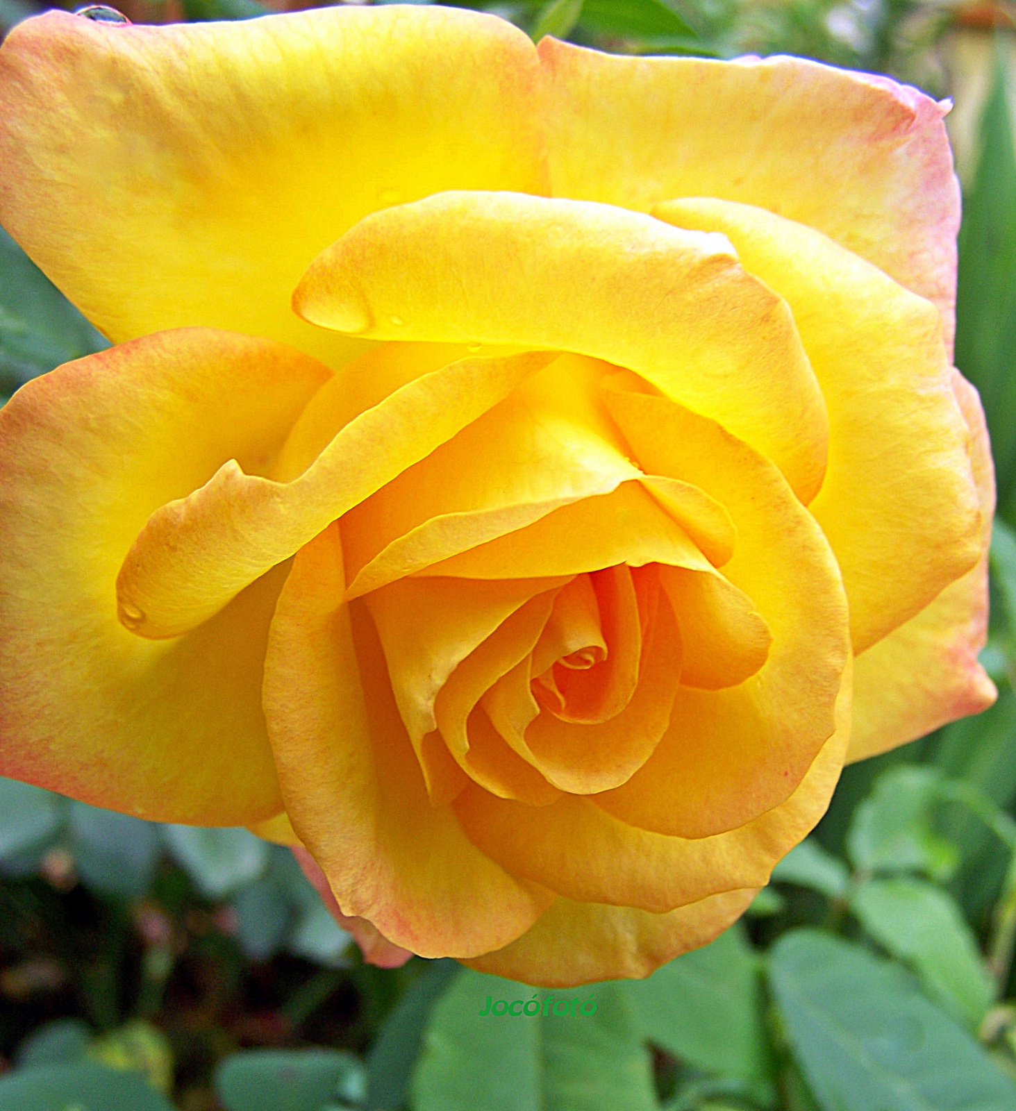 Rózsáim 5830
