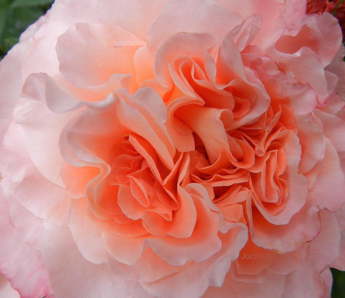 Rózsáim174