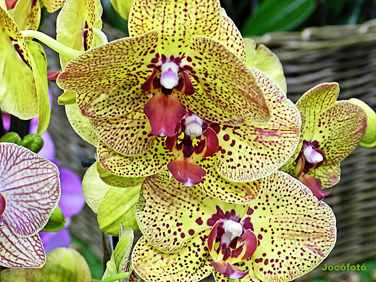 Orhidea 0310