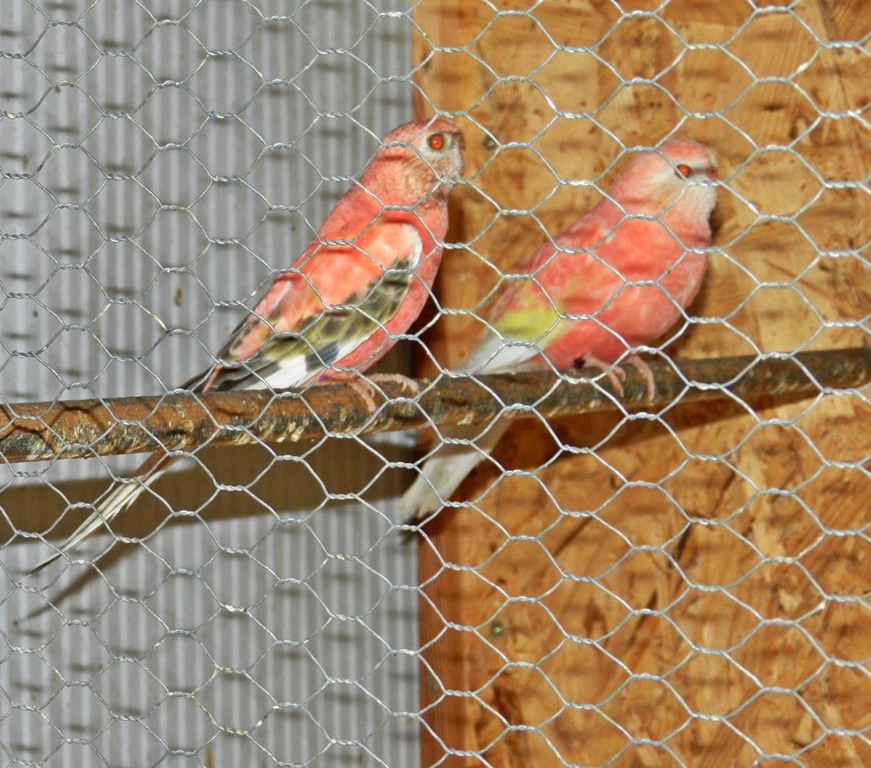 Bourk papagájaim 2260