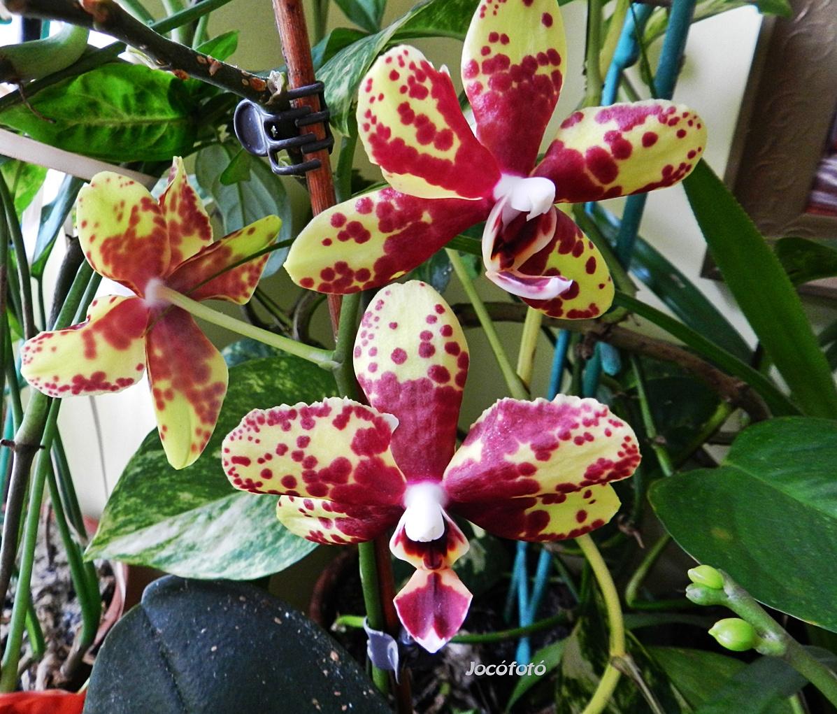 Orchideáim 5081