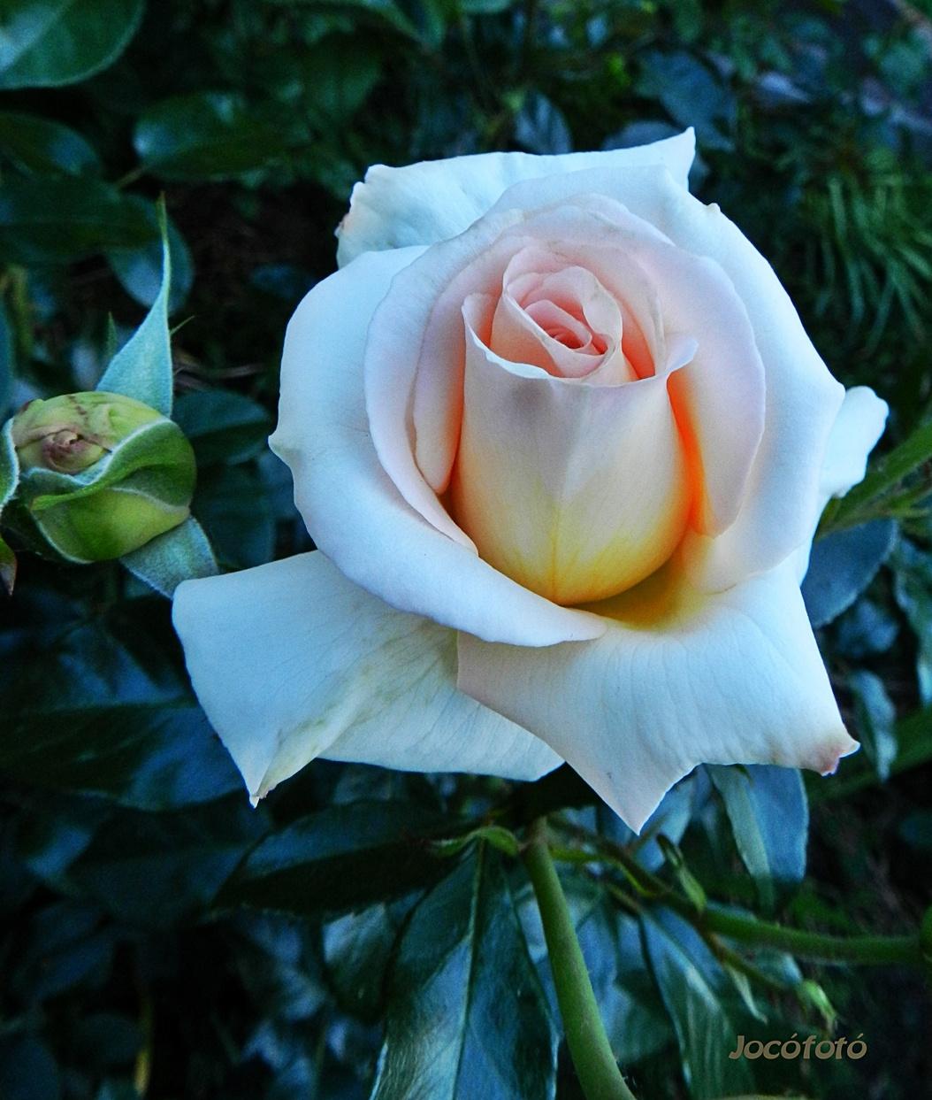 Rózsáim 4075