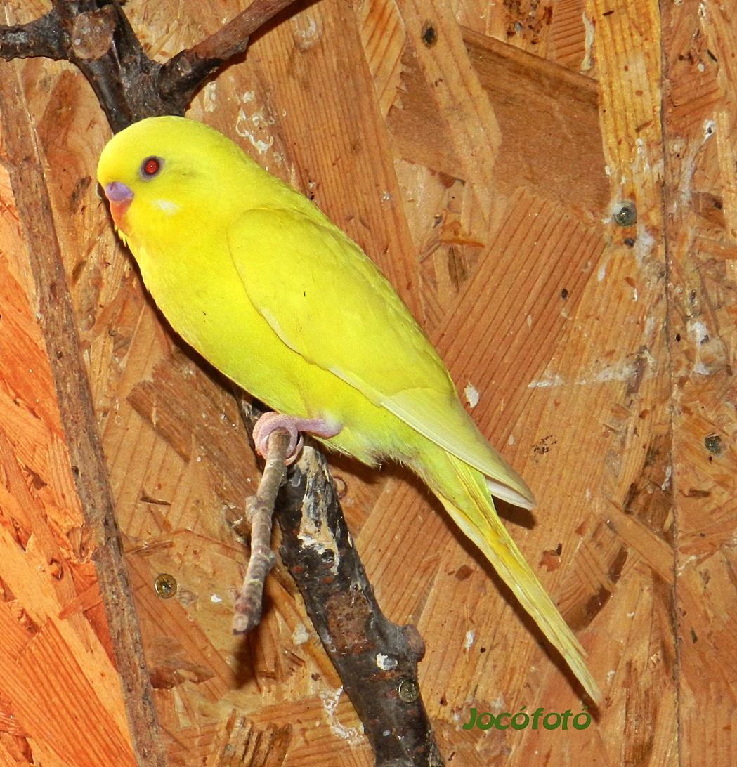Hullámos papagáj 6540