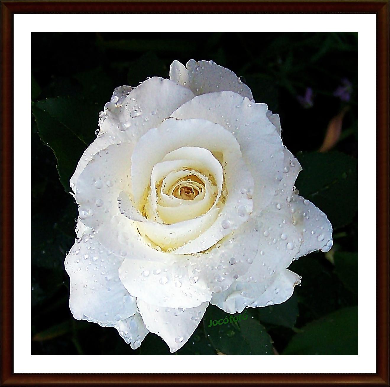 Rózsáim 7488