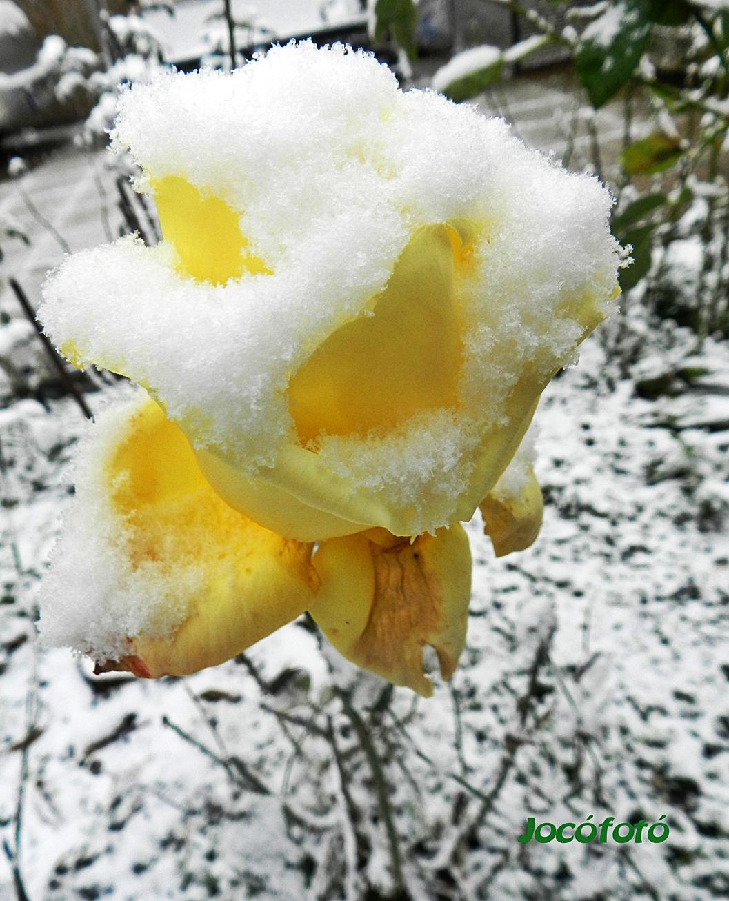Rózsáim 7069