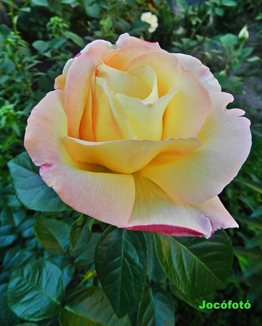 Rózsa 7644
