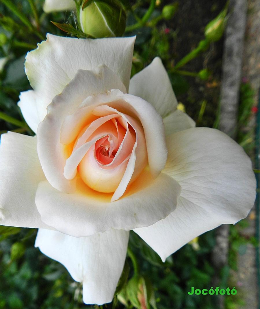 Rózsa 7666
