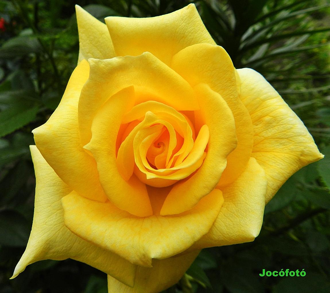Rózsa 7659