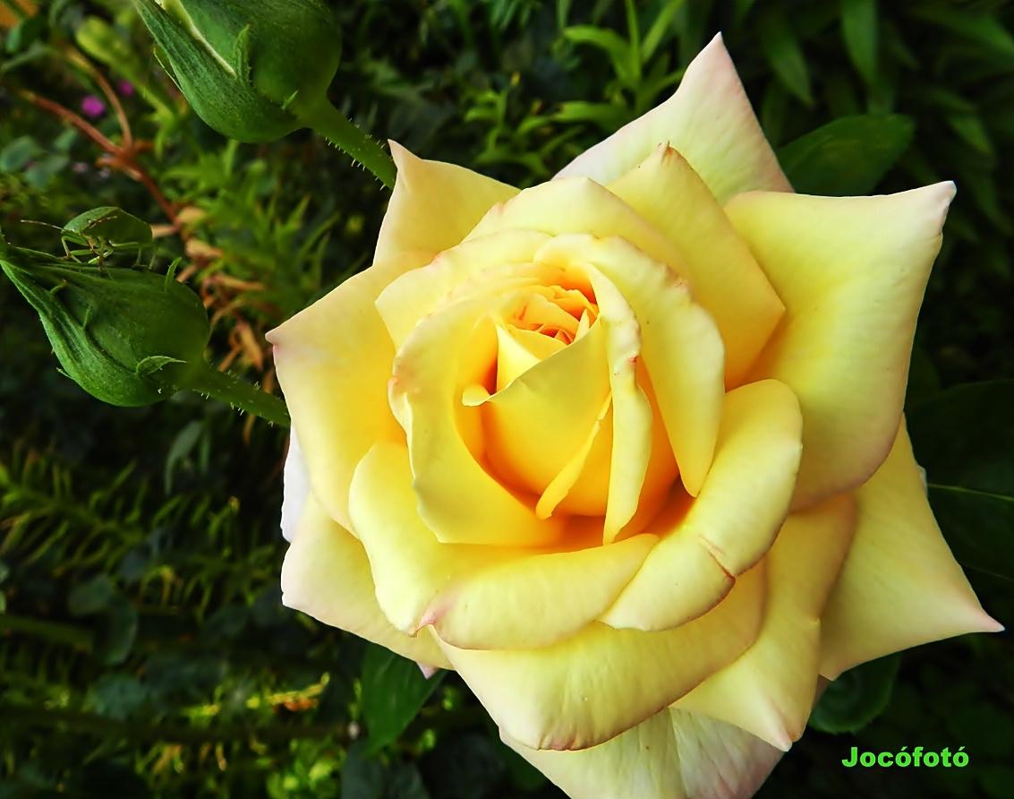 Rózsa 8338