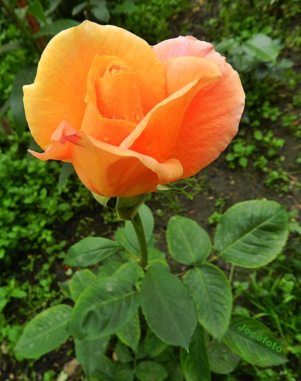 Rózsáim 9217