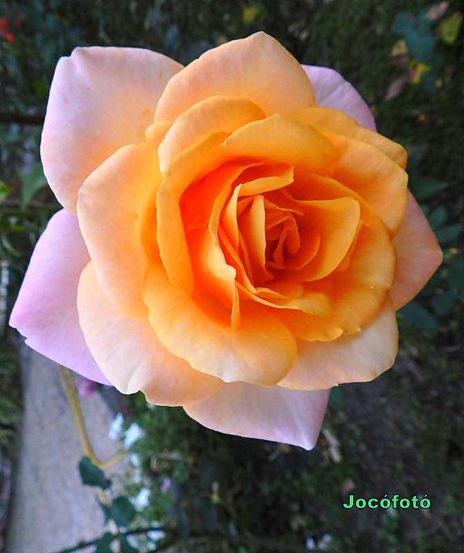 Rózsáim 9914