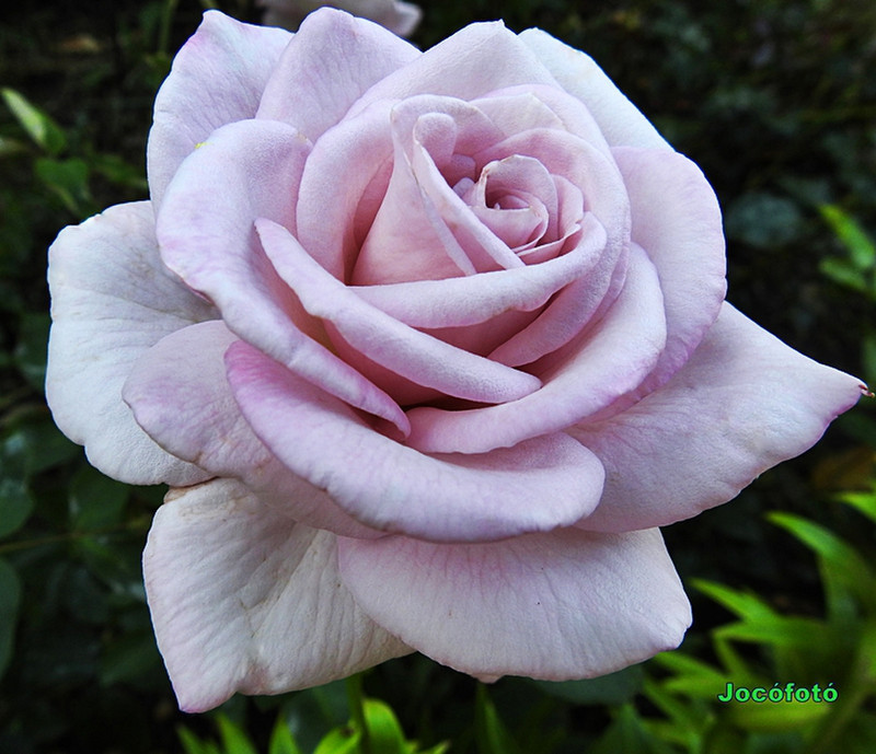Rózsáim 1024