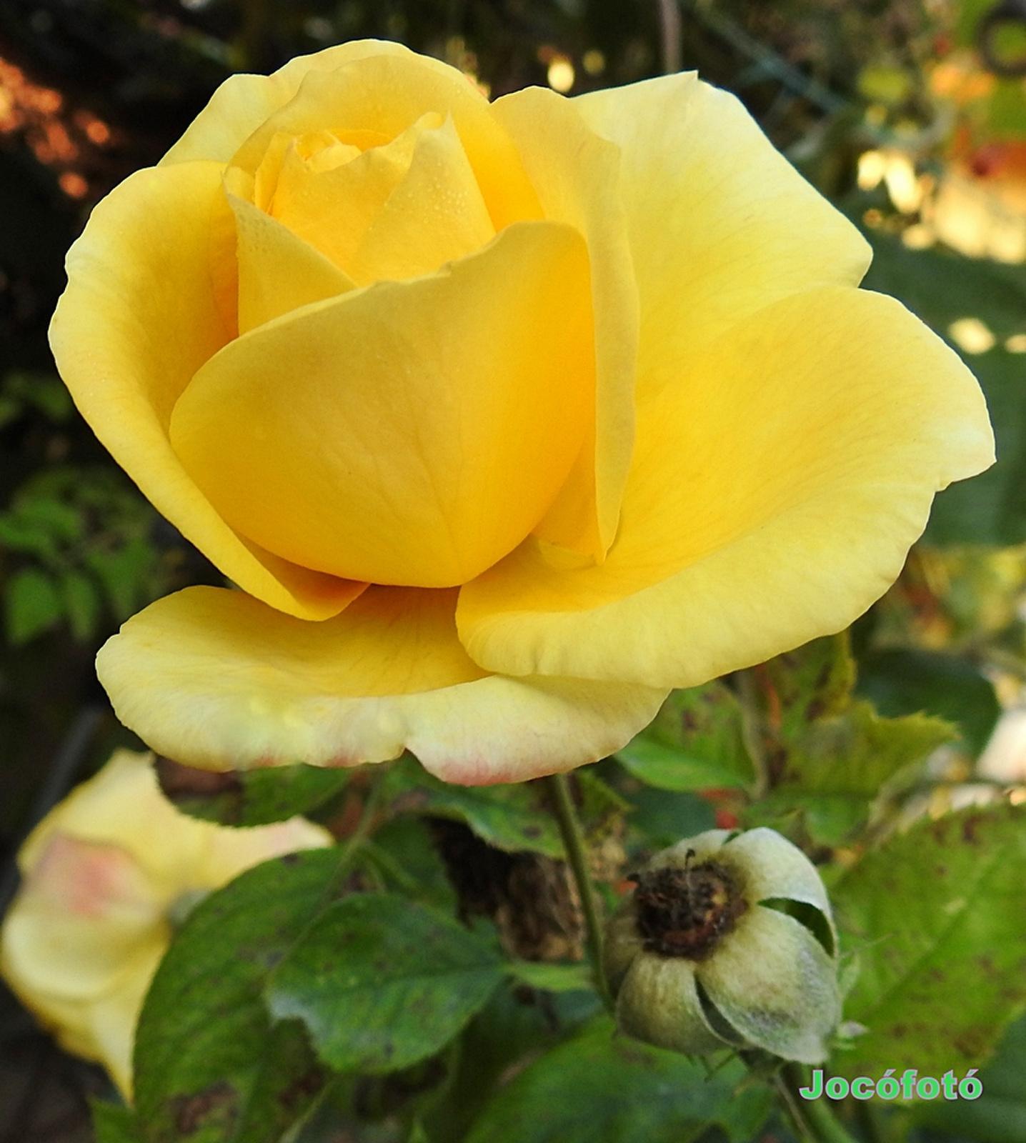 Rózsáim 1663