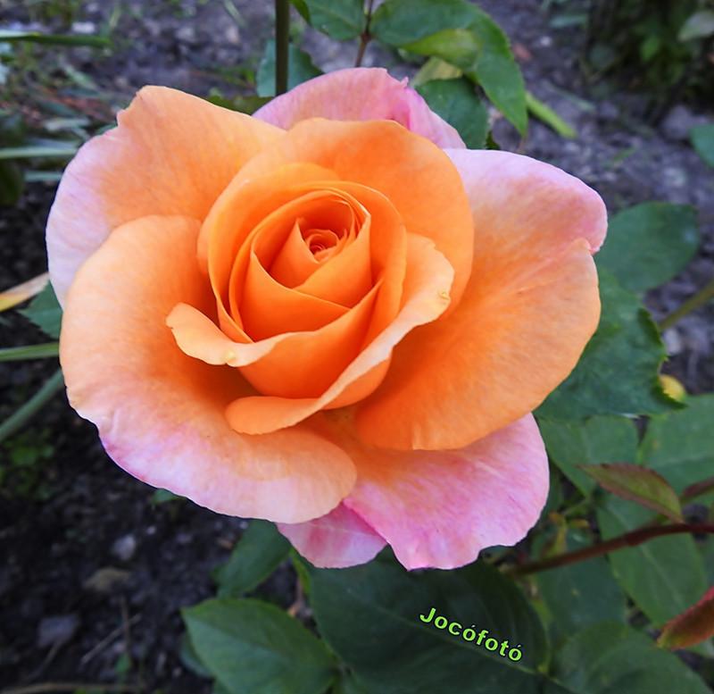 Rózsáim 2023