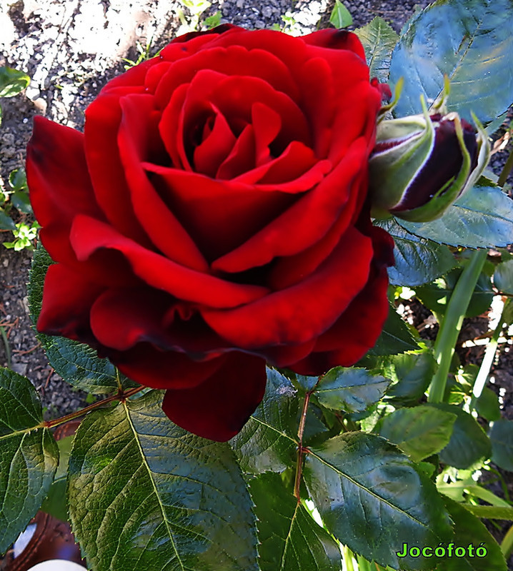 Rózsáim 2025
