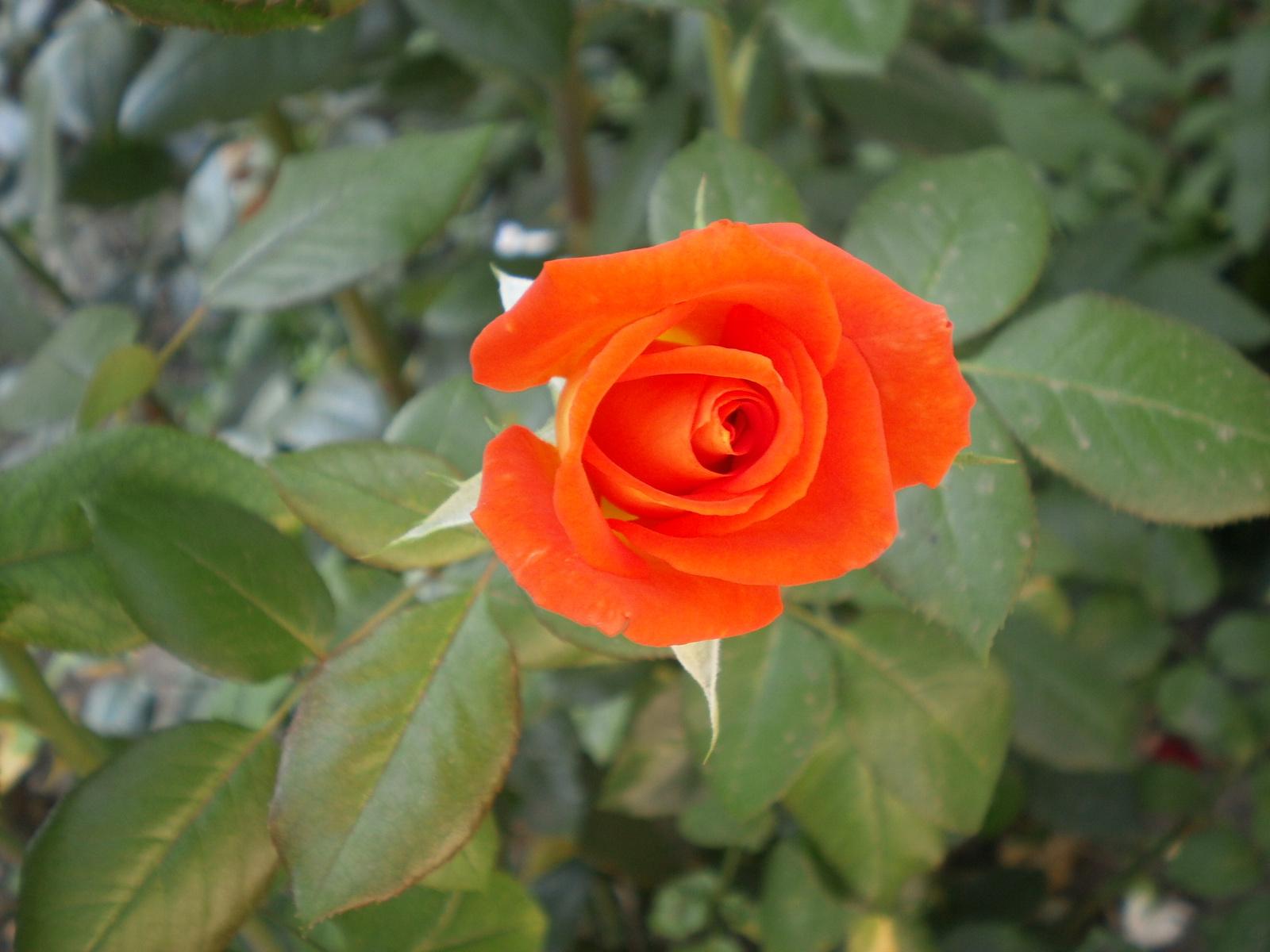 Rózsa bimbó