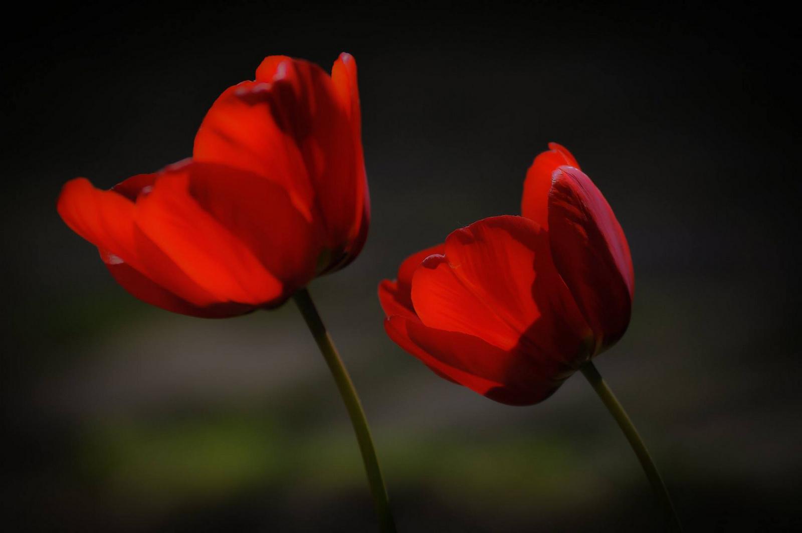 Páros tulipán