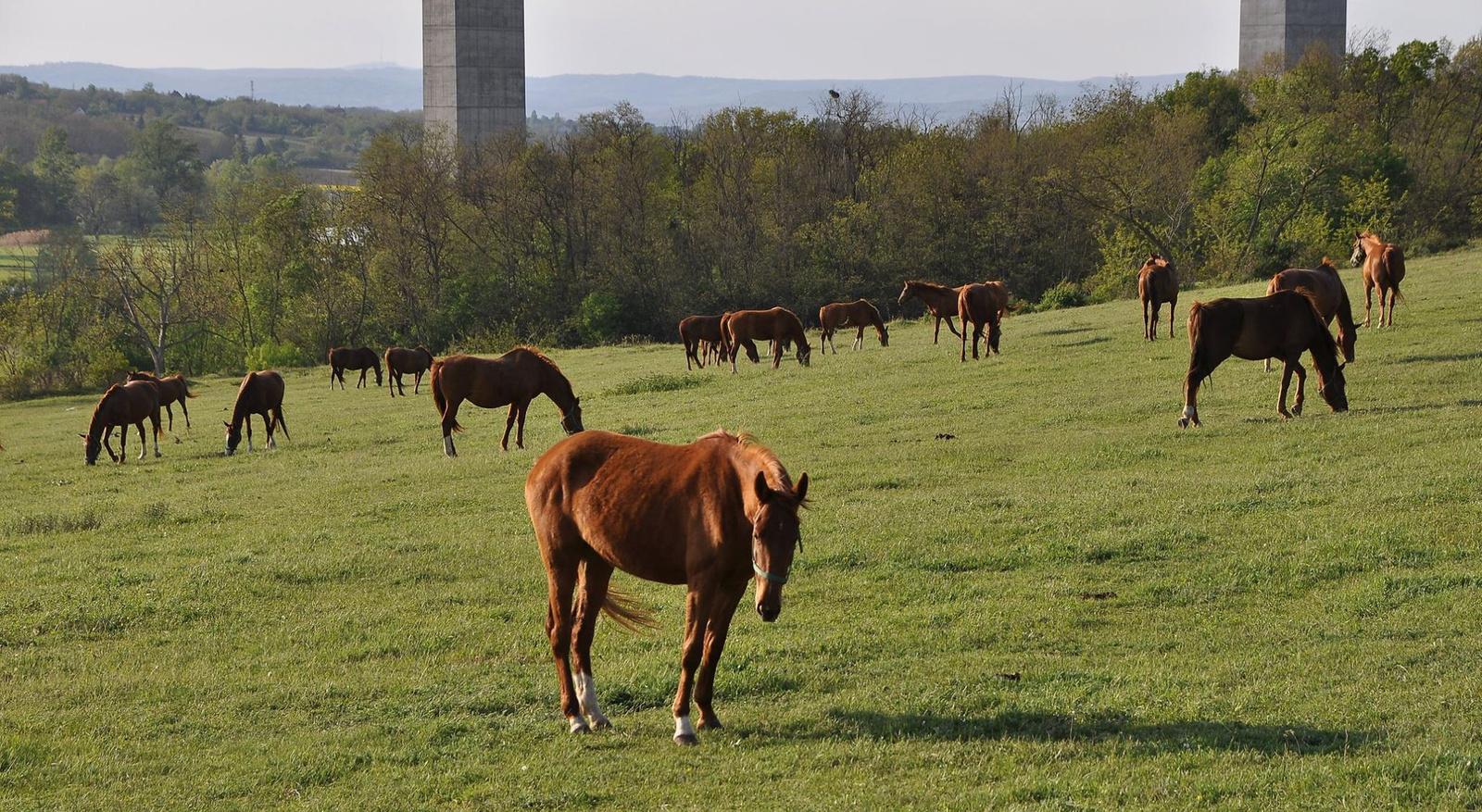 Legelésző lovak