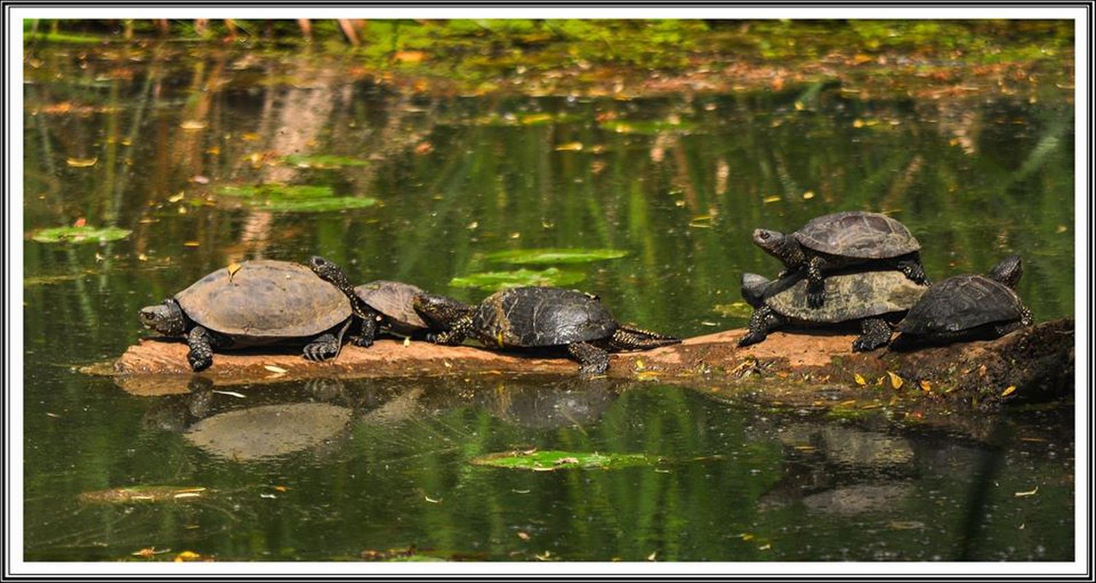 Csónakázátó teknőcök